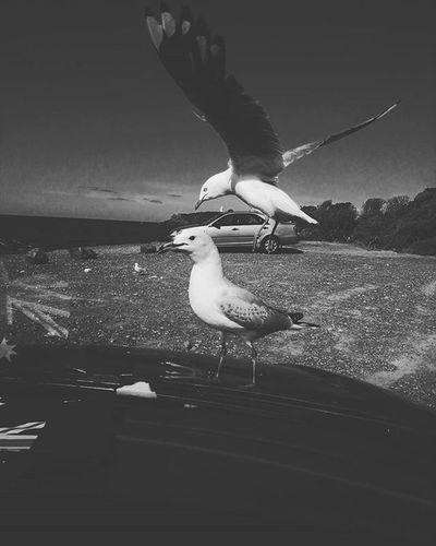 Seagull OnTheCar Givehimfood Birds