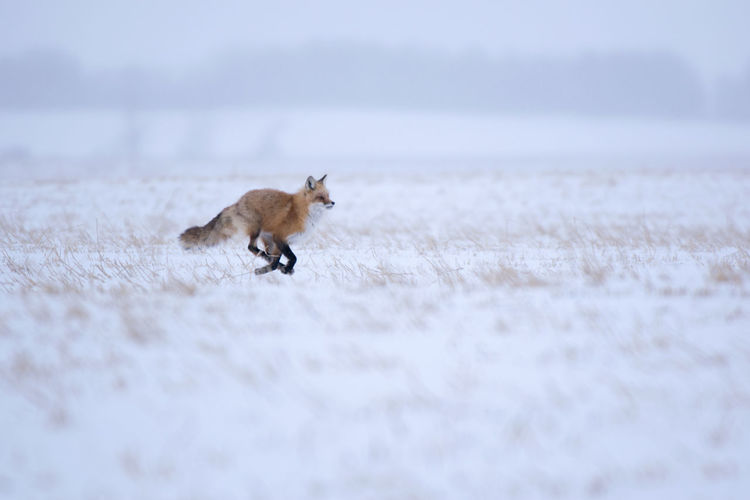 Side view of fox running on snowy land during winter