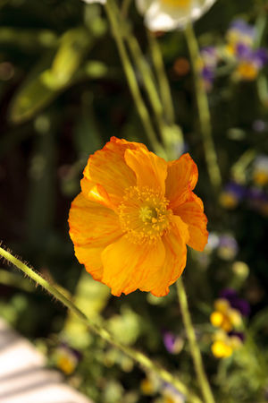 Yellow poppy flower blooms in a botanical garden in Spring Beauty In Nature Blooming Close-up Day Flower Flower Head Fragility Freshness Garden Growth Nature Nature No People Orange Poppy Outdoors Petal Plant Poppy Yellow Yellow Flower Yellow Poppy
