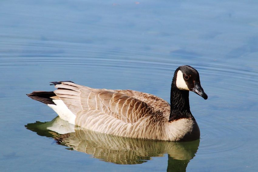EyeEm Selects Water Bird Animals In The Wild Animal Wildlife Animal Animal Themes One Animal Nature Goose Reflection Canada Goose Outdoors Waterfront Beauty In Nature No People Lake The Great Outdoors - 2018 EyeEm Awards