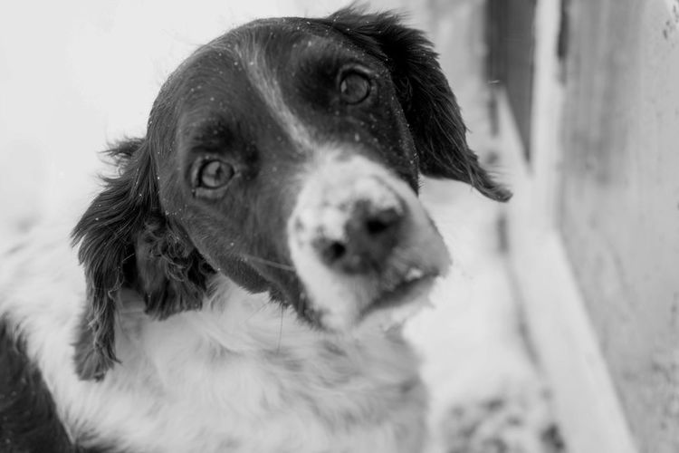 Brittany Spaniel Winter Dog Domestic Animals Looking At Camera No People One Animal Outdoors Pets