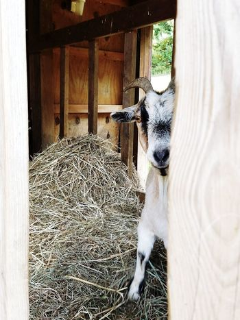 Boo! One Animal Animal Themes Mammal Domestic Animals No People Wood - Material Day Window Nature Indoors  Pets Close-up Animals Of Eyeem Animals🐾 Goats On The Farm Pet Portraits