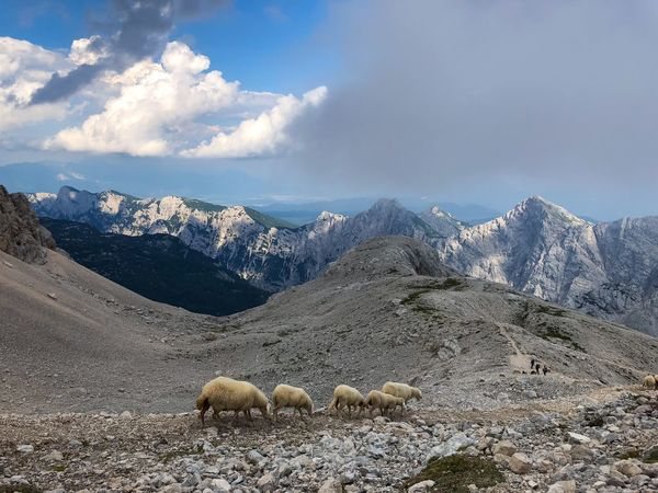 Moutain sheep looking for patches of grass Triglav National Park Stones N Rocks Planika Hikingadventures Agriculture Hiking High Mountains Slovenia The Alps Mounatins Sheep Great Outdoors - 2018 Eyeem Awards Cloud - Sky Sky Mountain Scenics - Nature Beauty In Nature Nature Tranquil Scene No People Landscape Non-urban Scene Mountain Range Mammal Animal Themes Day Stones N Rocks Planika Hikingadventures Agriculture Hiking High Mountains Slovenia The Alps Mounatins Sheep Great Outdoors - 2018 Eyeem Awards Cloud - Sky Sky Mountain Scenics - Nature Beauty In Nature Nature Tranquil Scene No People Landscape Non-urban Scene Mountain Range Mammal Animal Themes Day