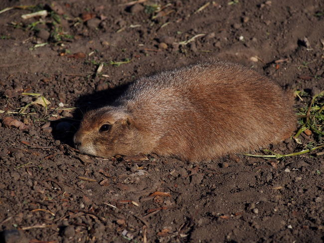 Animal Animal Themes Animal Wildlife Animals In The Wild Brown Day Dirt Field Full Length High Angle View Land Leaf Mammal Nature No People One Animal Outdoors Plant Part Rodent Vertebrate Zoobudapest Zoology