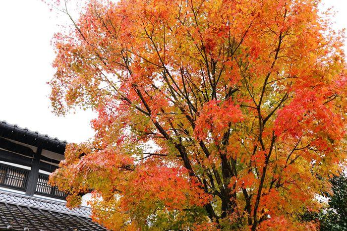 秋色満開🍁🍁🍁 Autumn Tree Beauty In Nature 🍁🍂autumn Treelovers