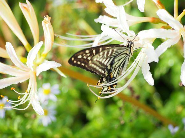 お天気がいいと嬉しいねo-o- Butterfly アゲハ蝶 彼岸花 White Flower Insect Nature Beauty In Nature Butterfly - Insect Taking Photo EyeEm Nature Lover From My Point Of View EyeEm Gallery