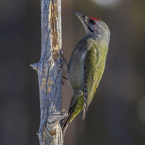 A grey-headed woodpecker in a Swedish winter landscape Bird Vertebrate One Animal Animals In The Wild Animal Animal Wildlife Perching Animal Themes Focus On Foreground No People Close-up Tree Day Nature Outdoors Plant Branch Beauty In Nature Wood - Material Looking Woodpecker Beak Grey-headed Woodpecker Sweden