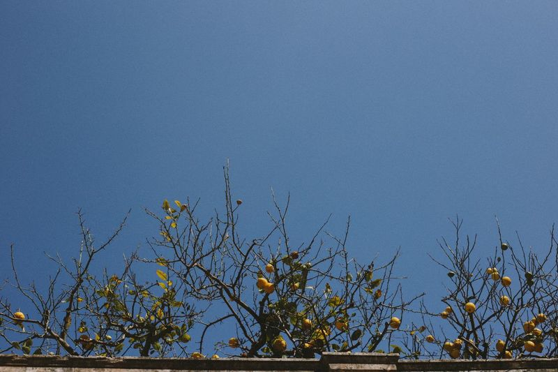 Growth Tree No People Nature Blue Plant Outdoors Day Low Angle View Clear Sky Beauty In Nature Branch Sky Lemon Tree Lemons Sicily Sicilia Siracusa