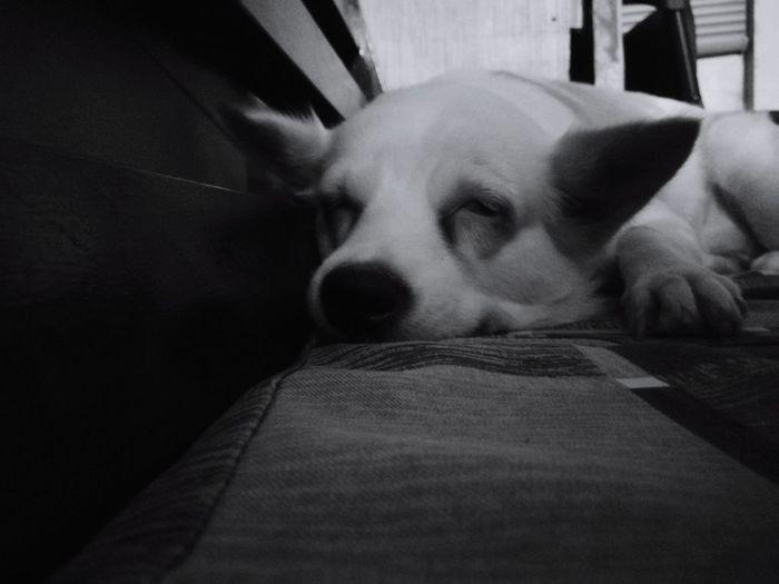 Pets One Animal Dog Mammal Animal Themes Indoors  Lying Down Close-up Eyeemph Eyeemasia PhonePhotography Snaps P10 EyeemPhilippines Sleeping Animal Dog Dogsofeyeem