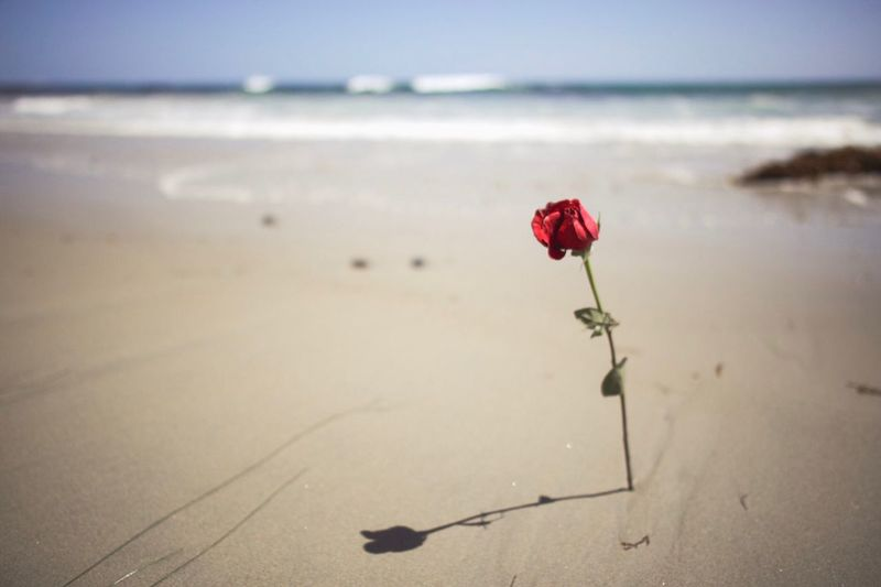 Rose in the sand Water Rose - Flower Water Red Sea Freshness Tranquility Sky Sand Horizon Over Water Outdoors No People Fragility Horizon The Still Life Photographer - 2018 EyeEm Awards