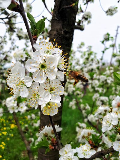 Close-up of bee on cherry blossom