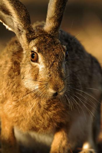 Wild hare on brijuni national park, croatia