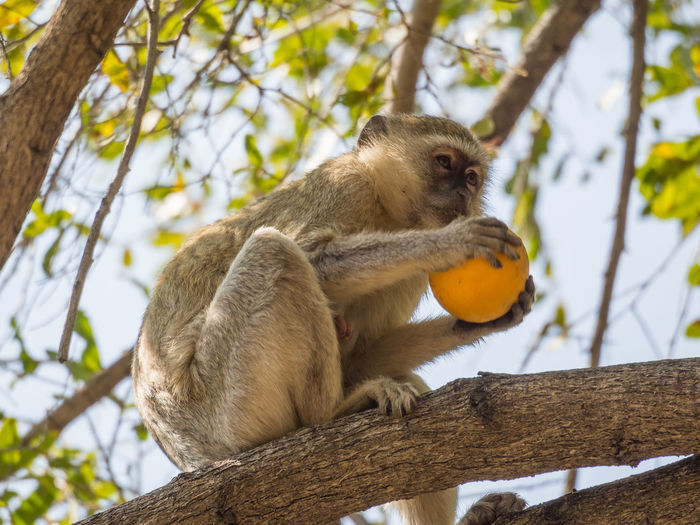 Low Angle View Of Vervet Monkey Sitting On Tree Eating Stolen Orange, Namibia