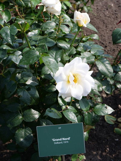 Grand Nord, Delbard, 1974 Delbard Rose Beauty In Nature Close-up Flower Flower Head Flowering Plant Freshness Grand Nord Growth Inflorescence Plant Plant Part Rose Plant Vulnerability  White Rose White Color
