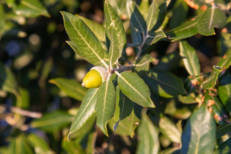 Close-up of fresh fruit on plant