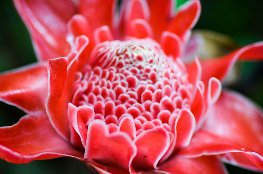 Beauty In Nature Close-up Flower Flowering Plant Freshness Growth Plant Petal Flower Head Fragility Vulnerability  Inflorescence Red Nature Focus On Foreground No People Pink Color Day Botany Pollen Springtime
