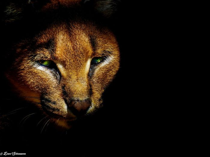 Dark Animal Big Cats Nature South Africa Is Amazing