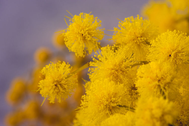 Mimosa flowers macro shot. I see yellow everywhere. Beauty In Nature Close-up Côte D'Azur Flower Head Fragility France 🇫🇷 Freshness Macro Photo Mimosa Mimosa Mimosa Flower Details Mimosa Flowers Photo With Smell Scented Yellow Mimosa The Color Of Winter In South Of France The Color Yellow Yellow Yellow Mimosa Flowers