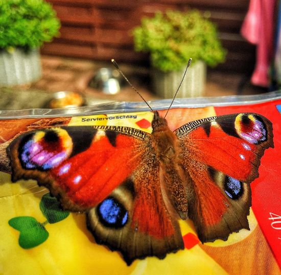 Insect Animal Themes One Animal Close-up Animals In The Wild Indoors  Table Butterfly - Insect Day No People Nature