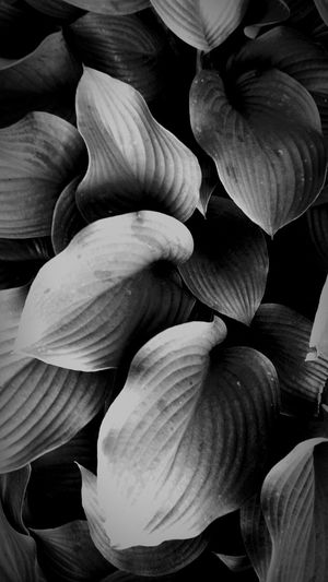 Quilted hostas going every which way Nature Photography Enjoying The View Urban Filter 4 Light And Shadow Taking Photos Hostas Black And White Observing Enjoying The Sun Artphotography