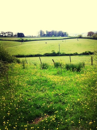 Nature Fields Countryside Buttercup