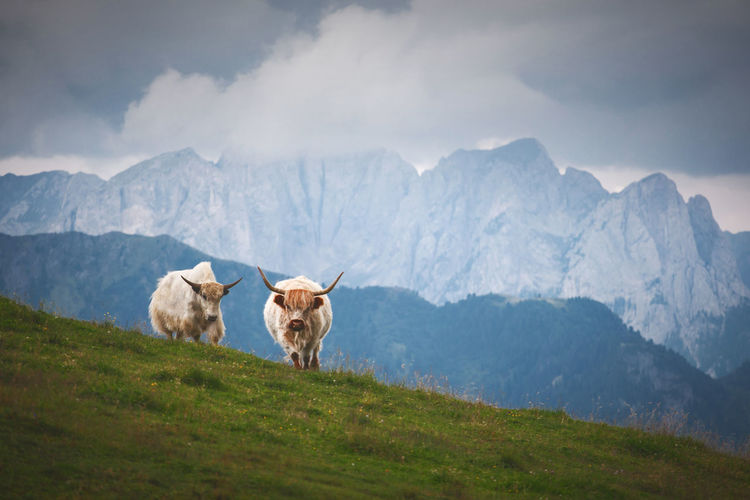 Yaks walking on grassy hill against cloud sky
