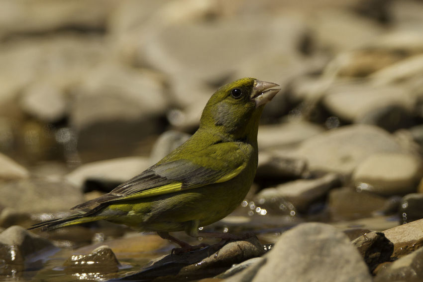 Animal Themes Animal Wildlife Animals In The Wild Beauty In Nature Bird Bird Photography Birds Of EyeEm  Chloris Chloris Close-up Day European Birds Focus On Foreground Greenfinch Nature Nature Photography No People One Animal Outdoors Perching Water Western Palearctic