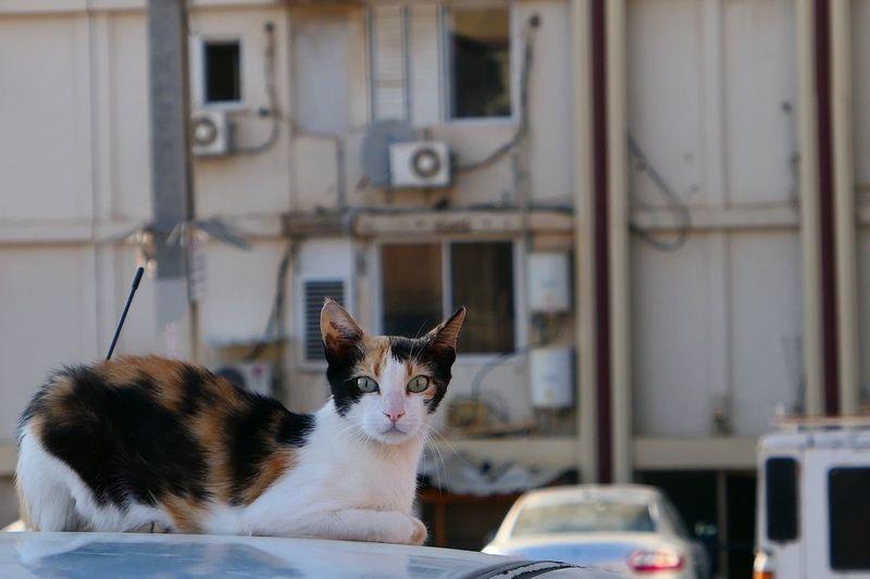 Portrait of cat sitting on car roof