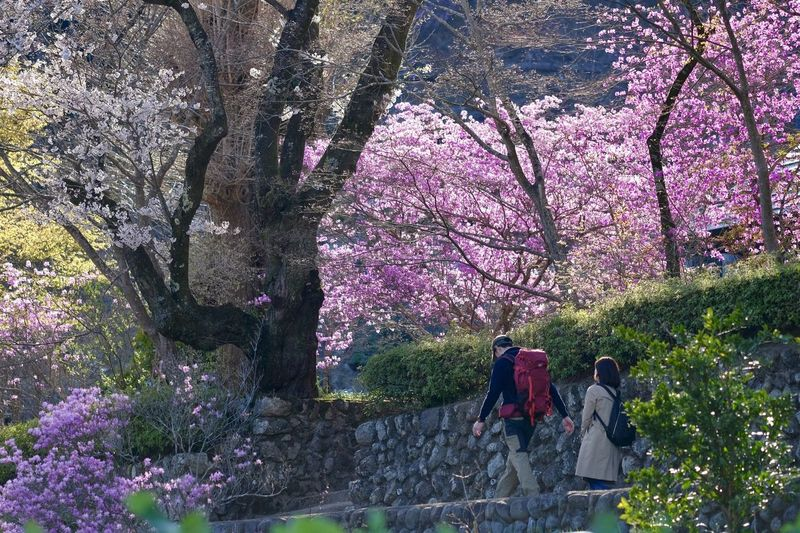 High angle view of cherry blossoms in park
