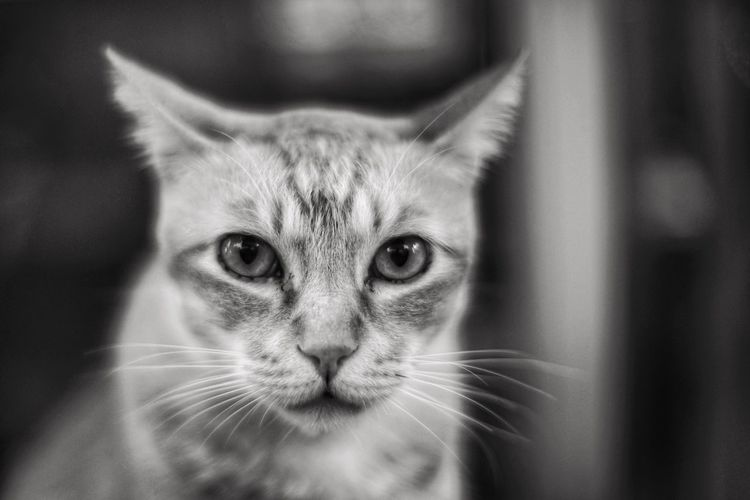 Domestic Cat Animal Themes One Animal Looking At Camera Close-up Pets Mammal Focus On Foreground Domestic Animals Feline Portrait Whisker No People Indoors  Day Sony Black And White Tim Wong Outdoors