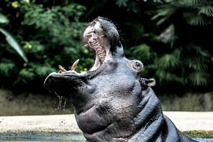 Close-Up Of Hippopotamus Swimming In Lake