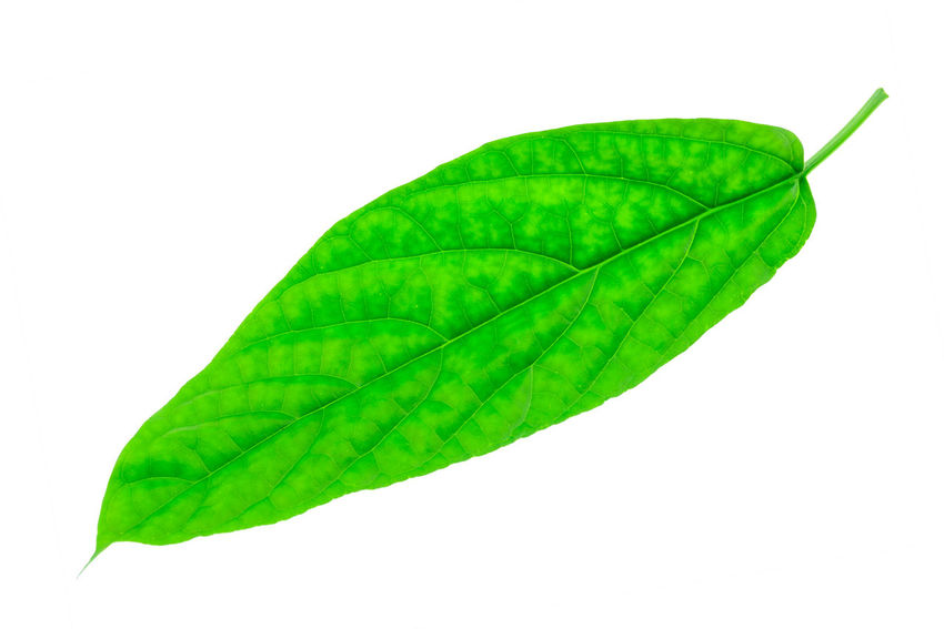 Leaf Plant Part White Background Green Color Close-up Studio Shot Nature Cut Out No People Plant Leaf Vein Freshness Indoors  Copy Space Fragility Beauty In Nature Vulnerability  Natural Pattern Water