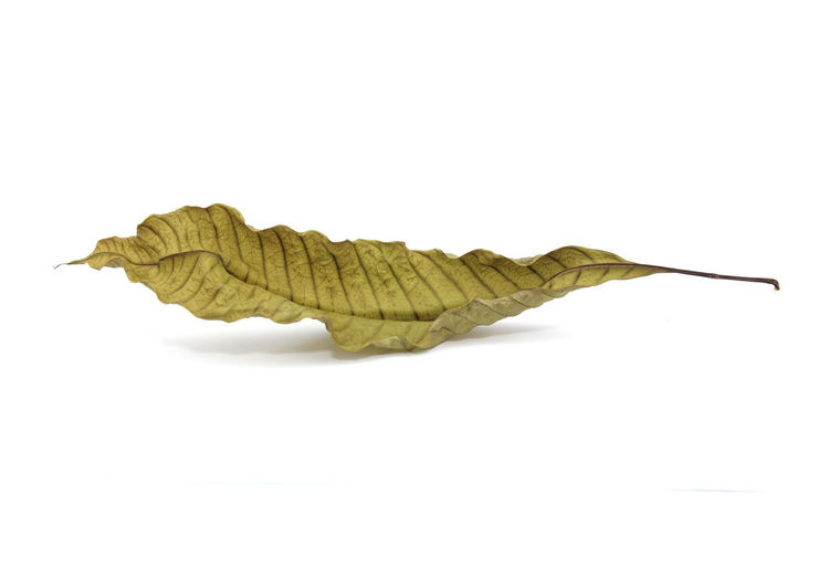 Leaf Dry White
