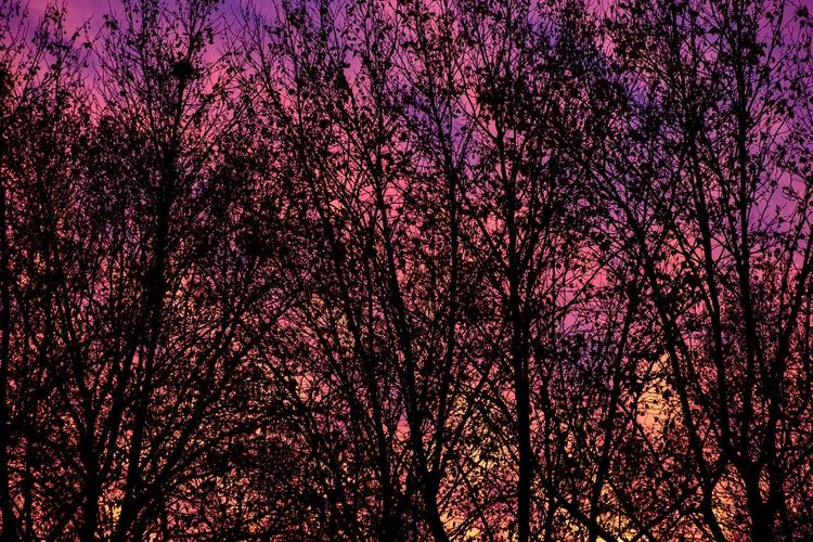 Low angle view of cherry tree against sky at night