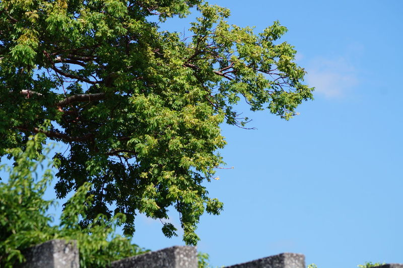 Tree Plant Sky Low Angle View Beauty In Nature Green Color Clear Sky Outdoors Sunlight Scenics - Nature Close-up Leaf No People Nature Day Parque La Choca VillahermosaTabasco