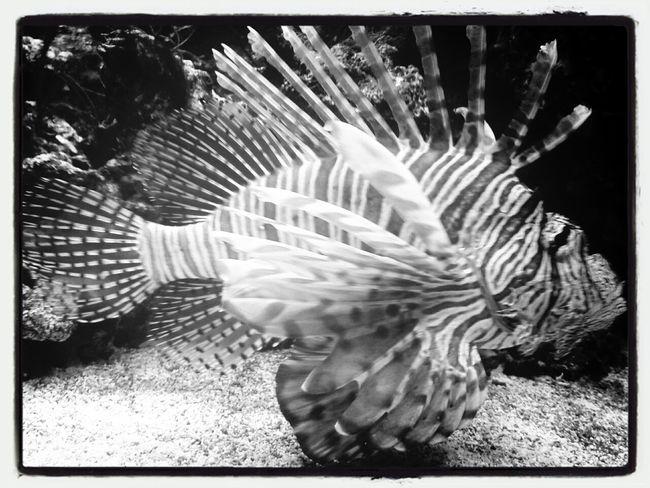 the punkfish Fish Punk