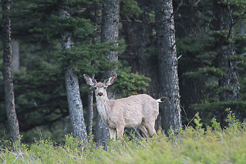 Animal Animal Themes Animal Wildlife Animals In The Wild Day Deer Field Forest Grass Growth Herbivorous Land Livestock Mammal Nature No People Plant Standing Tree Trunk Vertebrate