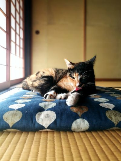 Calico Cat Tatami Husuma Japanese Traditional House Zabuton Japanese Old Traditional House Shouji Cute Lovely Cat Lover Sun Light Cat Cat Lovers Pets Domestic Animals Indoors  Domestic Cat Animal Themes One Animal Home Interior Mammal No People Relaxation Feline Day