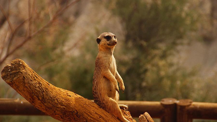 Meerkat on tree stump