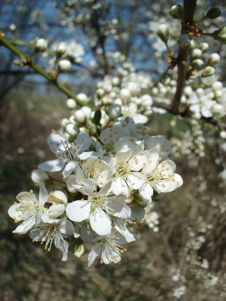 Schlehdorn Schlehen Blüten Beauty In Nature Flower Flower Head Nature No People Outdoors Sloe Spring Springtime White Color