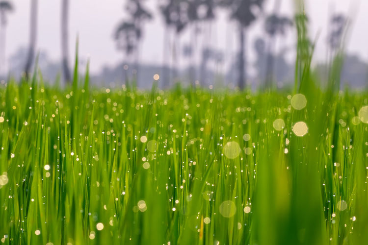 Green Color Plant Growth Selective Focus Beauty In Nature Nature Field Wet Grass Land No People Water Close-up Drop Freshness Blade Of Grass Day Outdoors Agriculture Rain Dew Rainy Season Purity