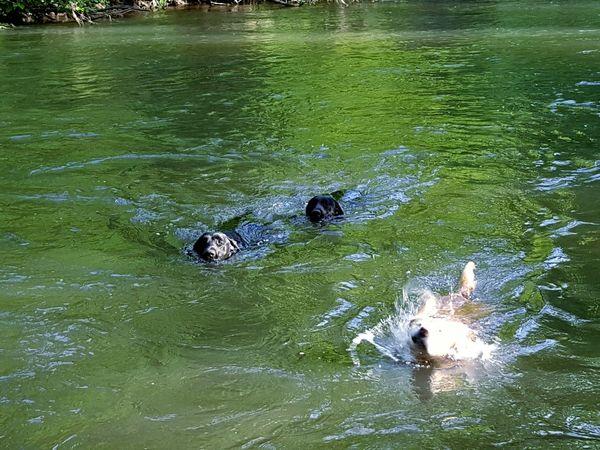 Labrador retrievers going for a swim in the Cedar River