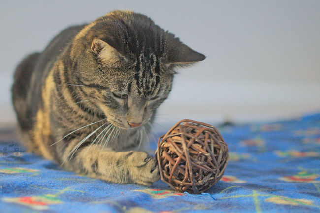 Testing an unknown toy 😉 Domestic Cat Domestic Animals Ball Animal Themes Indoors  Pets Haustier Close-up No People Tabby Cat White Background Katzen Kater Katze Cat Indoors  Tiger House Tiger Getigert Toy Spielzeug Test