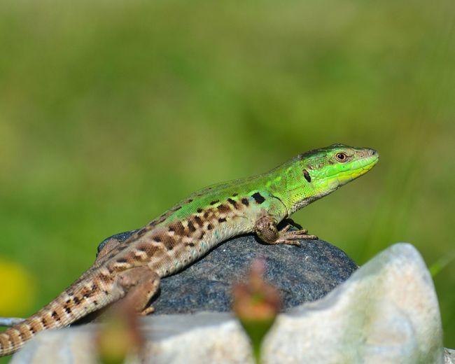 EyeEmAnimalLover Shotoftheday Reptile Close-up Animal Themes Green Color Lizard Animal Skin Skin Leg