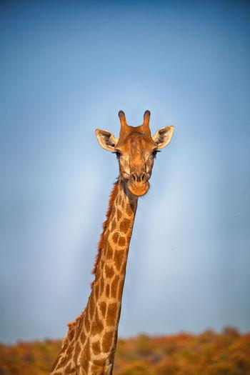 Close-up of giraffe against sky