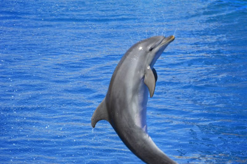 Dolphin Sea Life Water UnderSea Swimming Sea Aquatic Mammal Blue Jumping Underwater Intelligence Whale Animal Fin Acrobatic Activity Acrobat Aquatic Splashing Droplet High-speed Photography Splashing My Best Photo