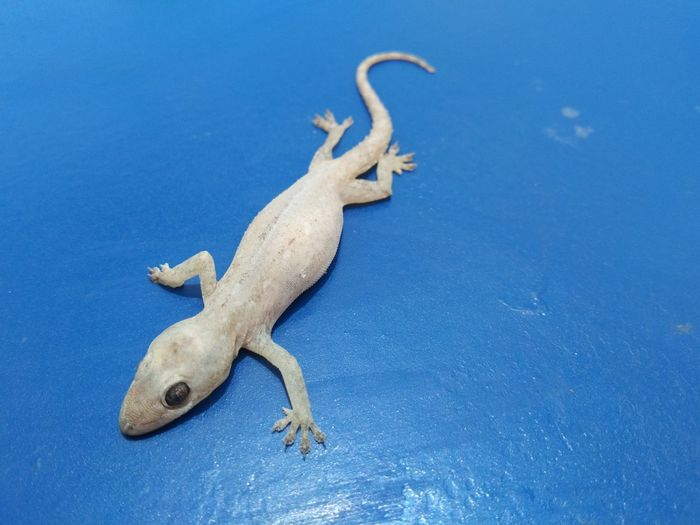 High angle view of lizard on blue background