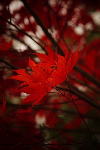 Close-up of red maple leaf during autumn