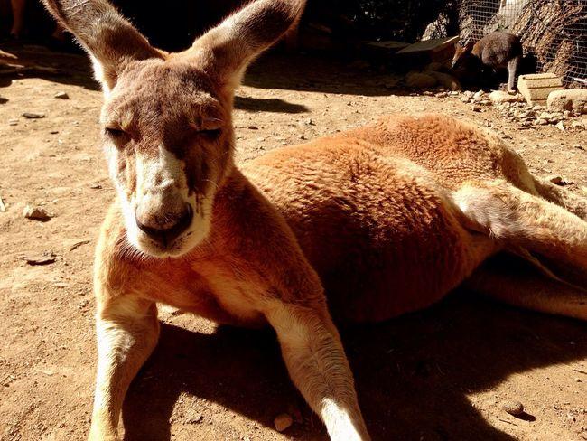 Zoo Safari EyeEm Animal Lover Kangaroo Animals Hanging Out Pentax Sleeping Animal_collection 北海道
