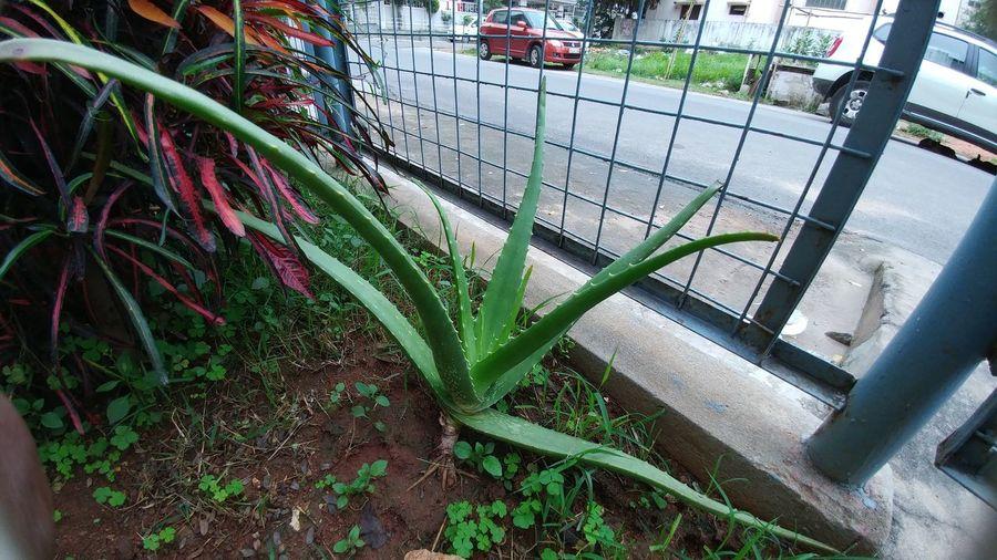 Plants 🌱 Aloe